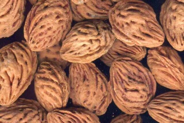 şeftali çekirdeği kabuğu satışı fiyatı satıcıları 0007peach kernel perziksteen shell Turkey